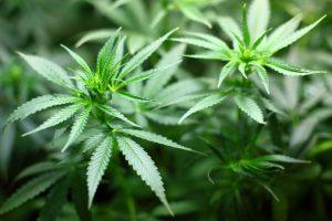 marijuana-plant